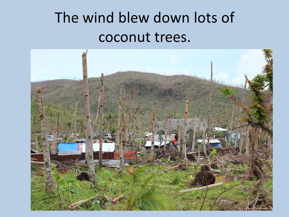 The wind blew down lots of coconut trees.