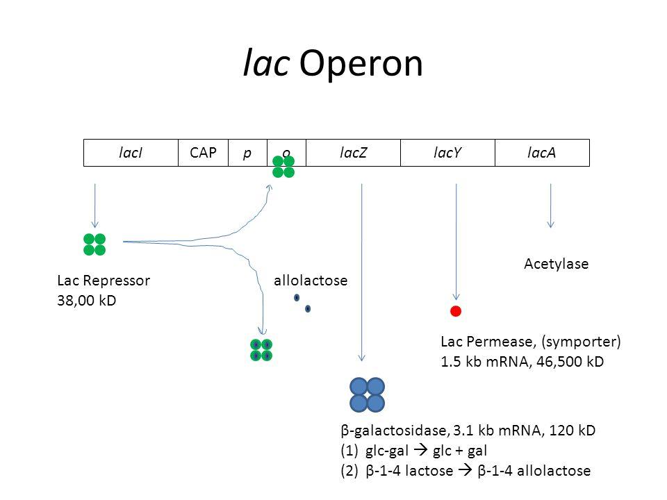 lac Operon lacZlacYlacAoCAPplacI β-galactosidase, 3.1 kb mRNA, 120 kD (1)glc-gal  glc + gal (2)β-1-4 lactose  β-1-4 allolactose Lac Permease, (symporter) 1.5 kb mRNA, 46,500 kD Acetylase allolactoseLac Repressor 38,00 kD