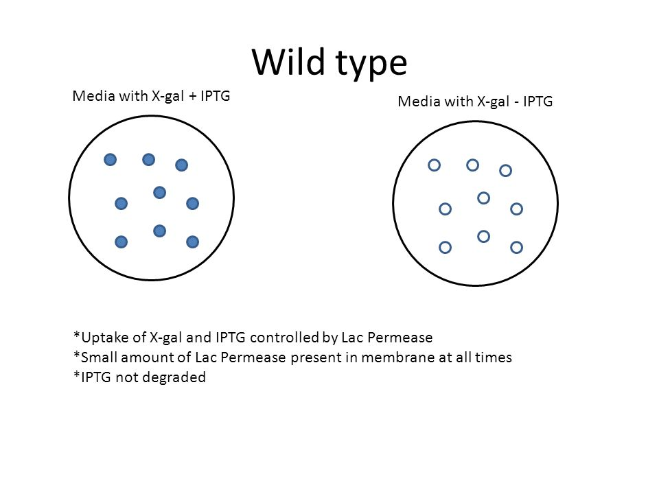 Wild type Media with X-gal + IPTG Media with X-gal - IPTG *Uptake of X-gal and IPTG controlled by Lac Permease *Small amount of Lac Permease present i