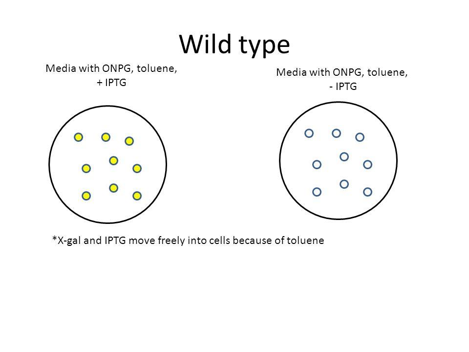 Wild type Media with ONPG, toluene, + IPTG Media with ONPG, toluene, - IPTG *X-gal and IPTG move freely into cells because of toluene
