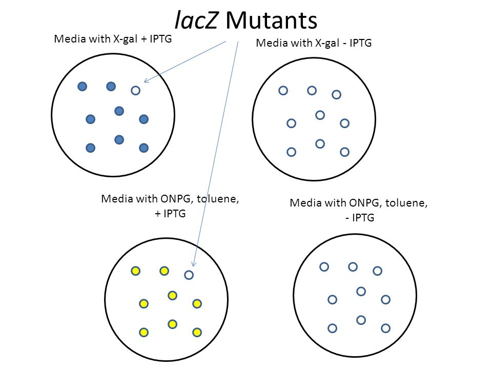 lacZ Mutants Media with X-gal + IPTG Media with X-gal - IPTG Media with ONPG, toluene, + IPTG Media with ONPG, toluene, - IPTG