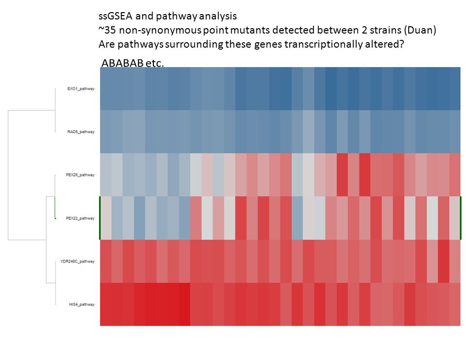 ssGSEA and pathway analysis ~35 non-synonymous point mutants detected between 2 strains (Duan) Are pathways surrounding these genes transcriptionally altered?