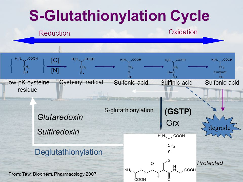 Low pK cysteine residue S-glutathionylation Deglutathionylation Cysteinyl radical Sulfinic acidSulfonic acidSulfenic acid [O] [N] S-Glutathionylation Cycle Protected Glutaredoxin Sulfiredoxin (GSTP) Oxidation Reduction degrade Grx From: Tew, Biochem.