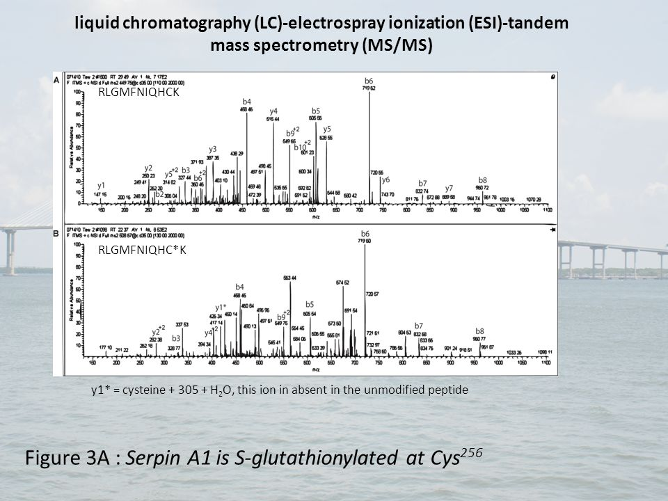 DEELSCTVVELK DEELSC*TVVELK y7* = cysteine + 305, this ion in absent in the unmodified peptide Figure 3B : Serpin A3 is S-glutathionylated at Cys 263 liquid chromatography (LC)-electrospray ionization (ESI)-tandem mass spectrometry (MS/MS)