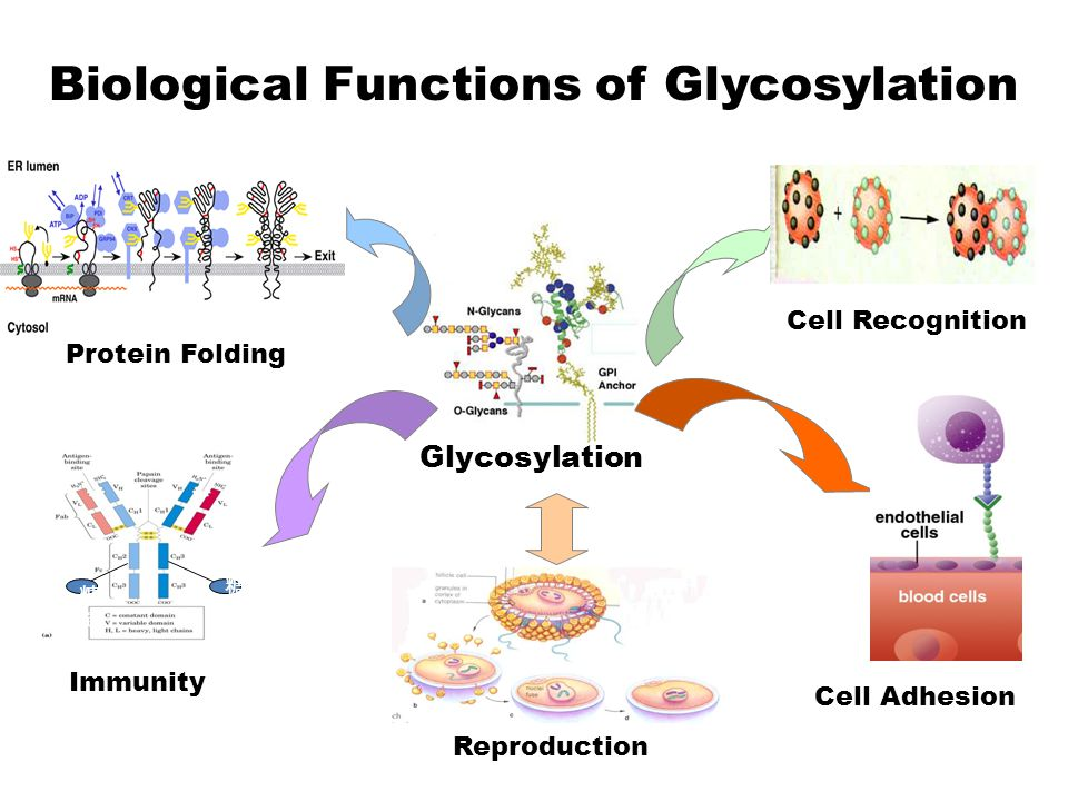 Cell Recognition Protein Folding Reproduction Immunity Cell Adhesion Glycosylation 糖链糖链 糖链 Biological Functions of Glycosylation