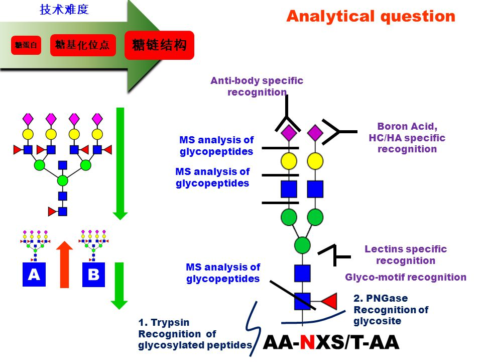 Analytical question 1.Trypsin Recognition of glycosylated peptides 2.