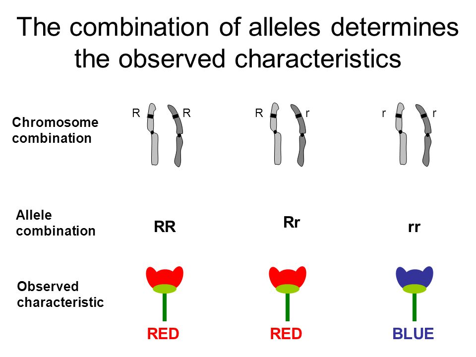 The combination of alleles determines the observed characteristics R Chromosome combination GENOTYPE PHENOTYPE RR Rr rr RED BLUE RRrrr
