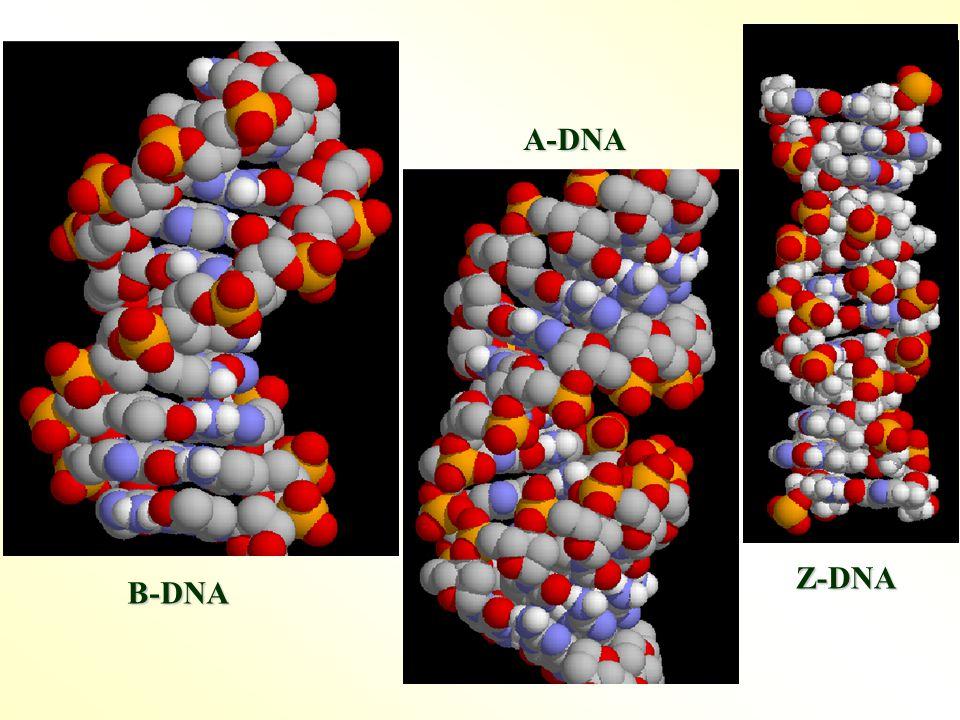 A-DNA B-DNA Z-DNA