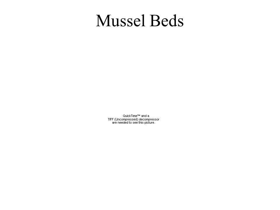 Mussel Beds