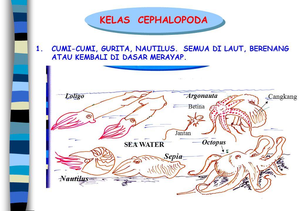 1.CUMI-CUMI, GURITA, NAUTILUS. SEMUA DI LAUT, BERENANG ATAU KEMBALI DI DASAR MERAYAP. KELAS CEPHALOPODA Betina Jantan Cangkang Octopus Argonauta Lolig