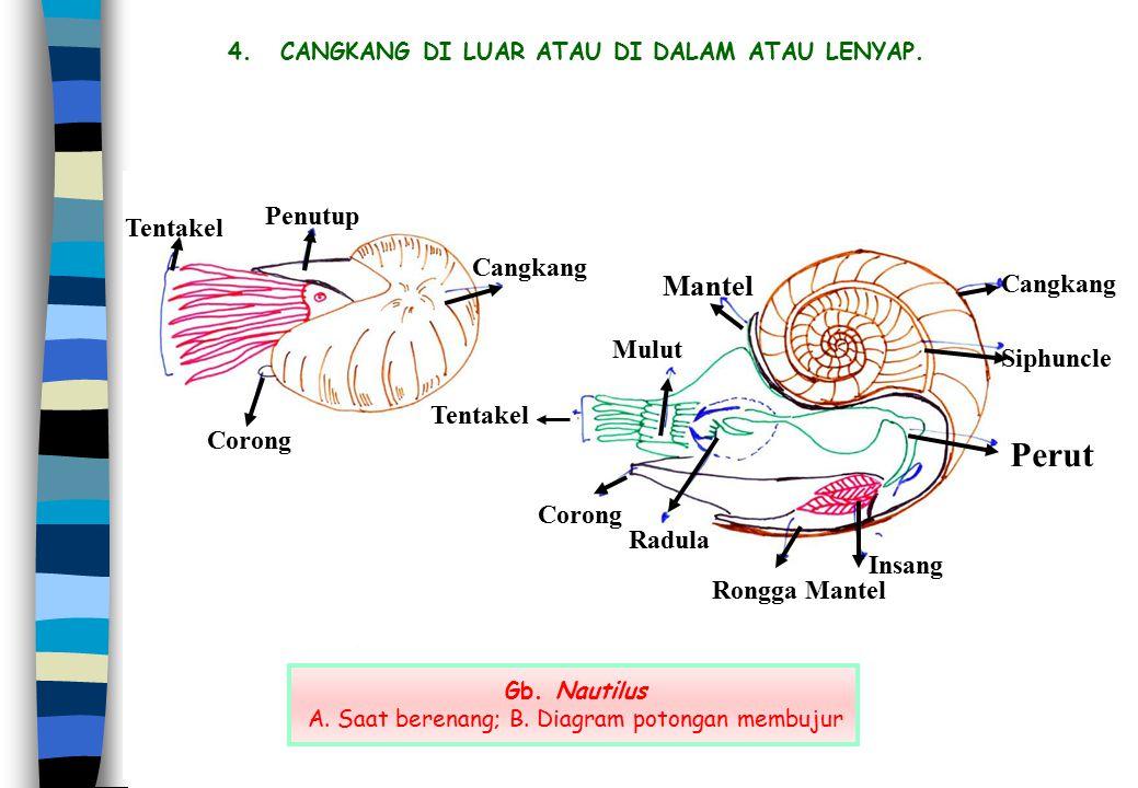 4.CANGKANG DI LUAR ATAU DI DALAM ATAU LENYAP. Gb. Nautilus A. Saat berenang; B. Diagram potongan membujur Cangkang Siphuncle Perut Insang Rongga Mante