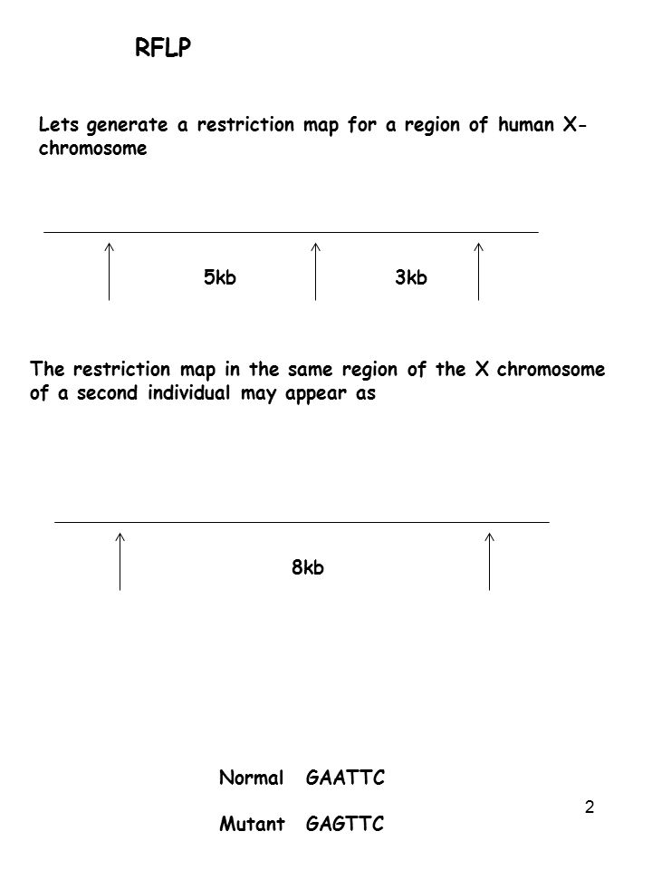 2 RFLP Lets generate a restriction map for a region of human X- chromosome 5kb3kb The restriction map in the same region of the X chromosome of a second individual may appear as 8kb NormalGAATTC MutantGAGTTC