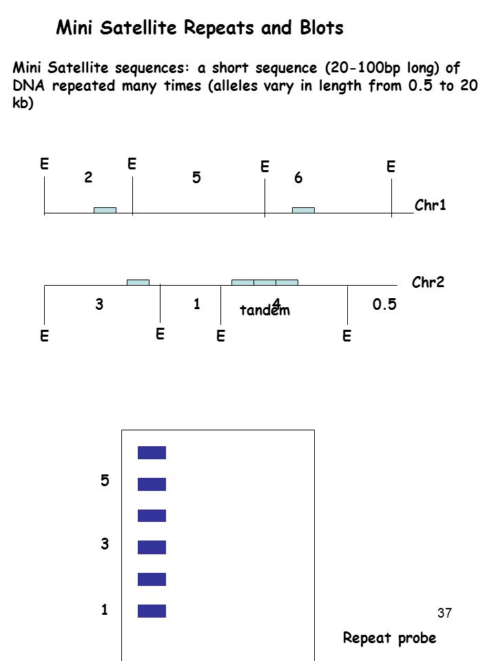 37 Mini Satellite Repeats and Blots Mini Satellite sequences: a short sequence (20-100bp long) of DNA repeated many times (alleles vary in length from 0.5 to 20 kb) Chr1 Chr2 tandem EE E 256 EEE 3140.5 1 3 5 Repeat probe E E