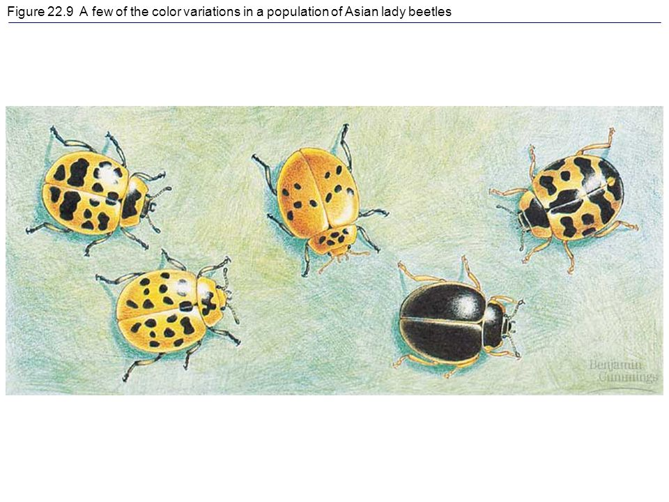 Figure 22.9 A few of the color variations in a population of Asian lady beetles