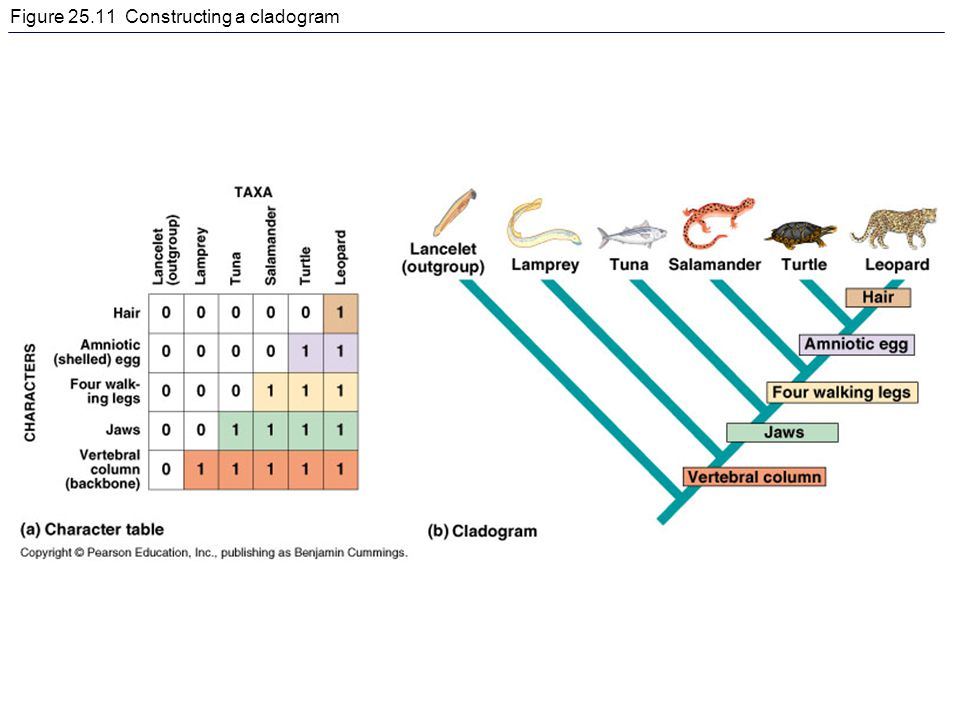 Figure 25.11 Constructing a cladogram