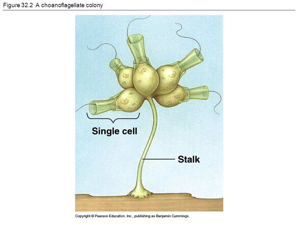 Figure 32.2 A choanoflagellate colony
