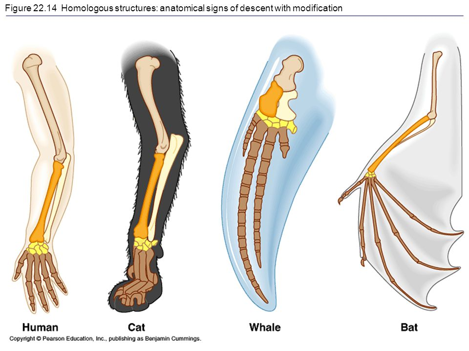 Figure 22.14 Homologous structures: anatomical signs of descent with modification
