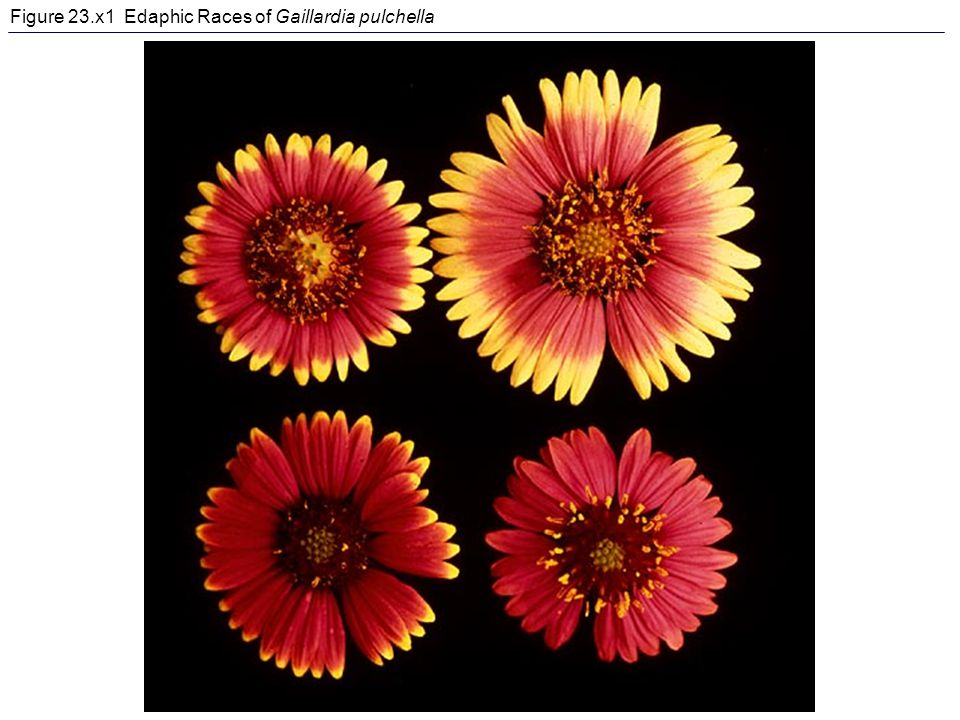 Figure 23.x1 Edaphic Races of Gaillardia pulchella