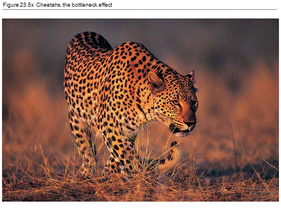 Figure 23.5x Cheetahs, the bottleneck effect