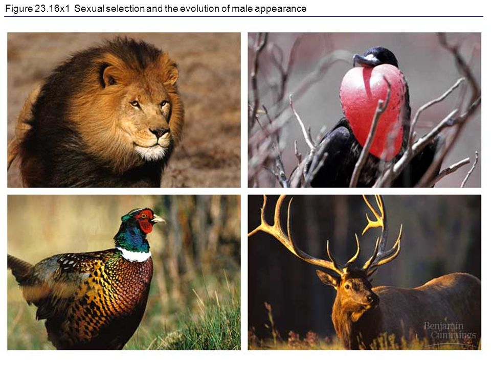 Figure 23.16x1 Sexual selection and the evolution of male appearance