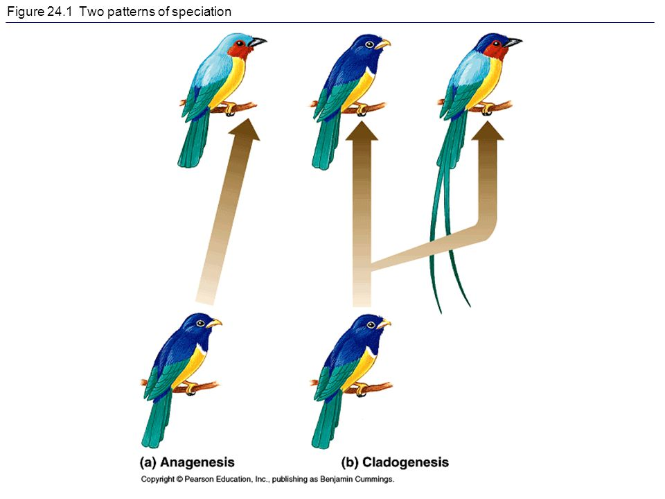 Figure 24.1 Two patterns of speciation