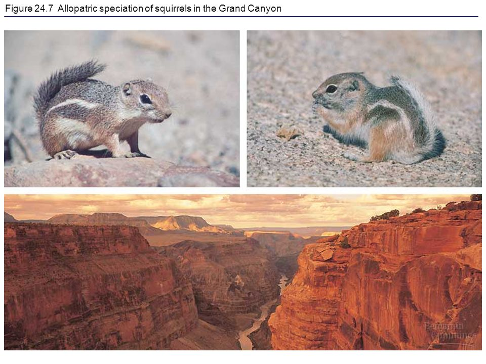 Figure 24.7 Allopatric speciation of squirrels in the Grand Canyon