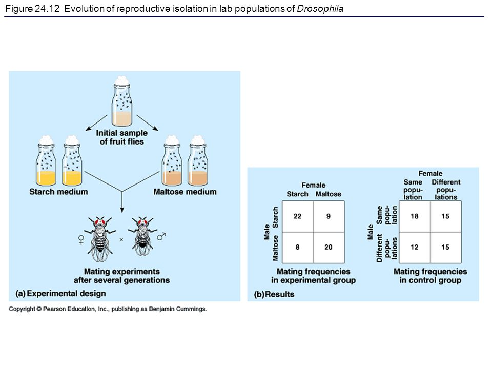 Figure 24.12 Evolution of reproductive isolation in lab populations of Drosophila