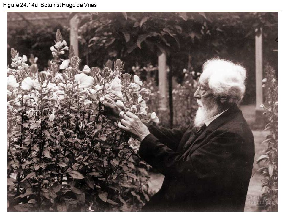 Figure 24.14a Botanist Hugo de Vries