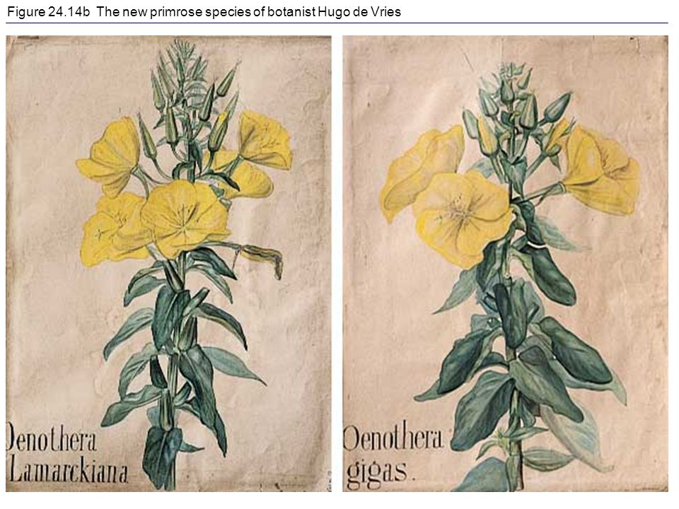Figure 24.14b The new primrose species of botanist Hugo de Vries