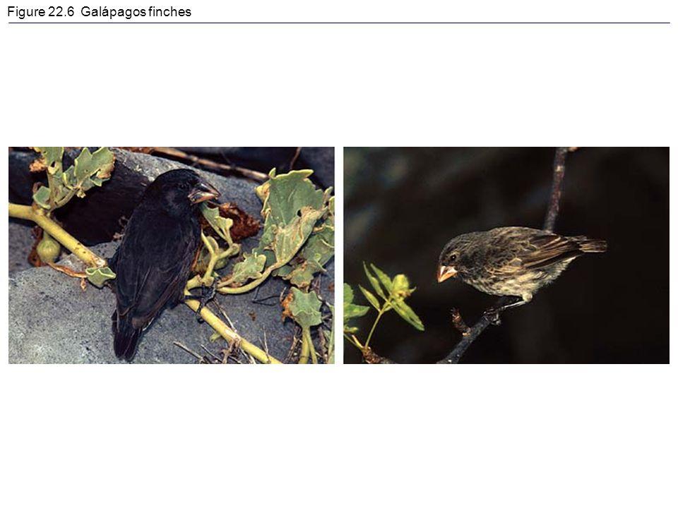 Figure 22.6 Galápagos finches