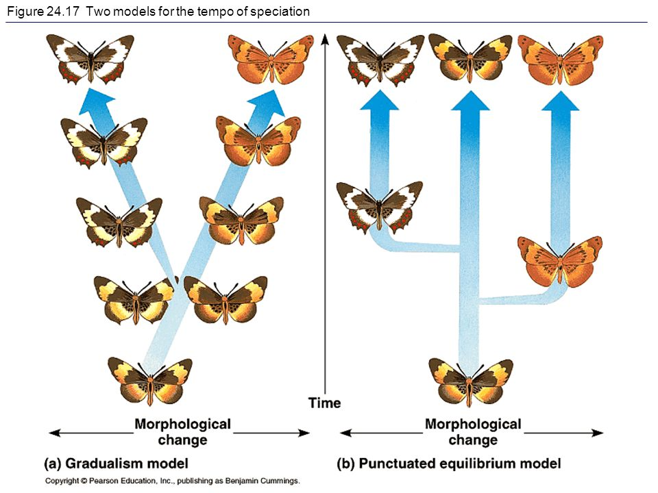 Figure 24.17 Two models for the tempo of speciation