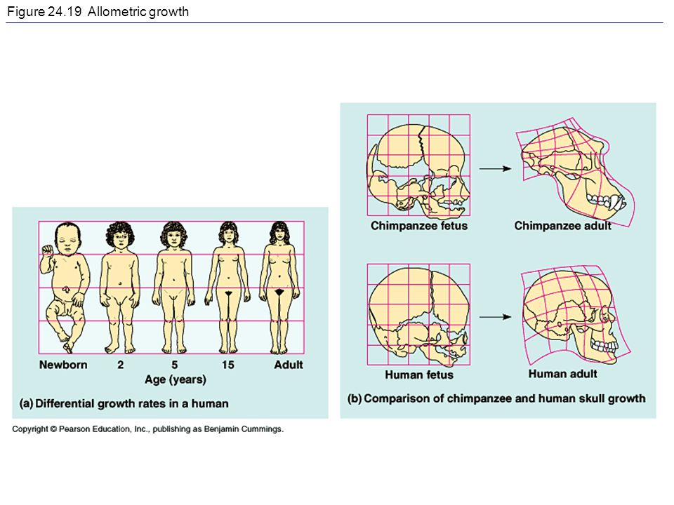 Figure 24.19 Allometric growth