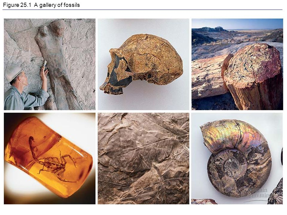 Figure 25.1 A gallery of fossils