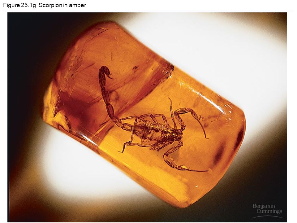 Figure 25.1g Scorpion in amber