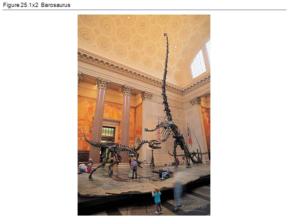 Figure 25.1x2 Barosaurus