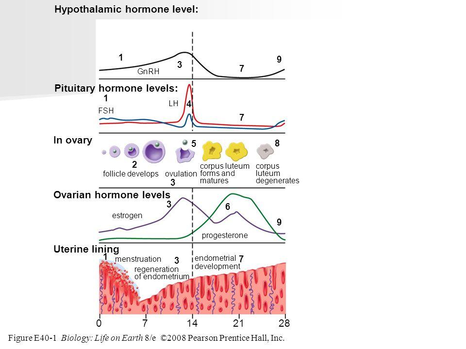 Figure E40-1 Biology: Life on Earth 8/e ©2008 Pearson Prentice Hall, Inc. endometrial development 28071421 Hypothalamic hormone level: Pituitary hormo
