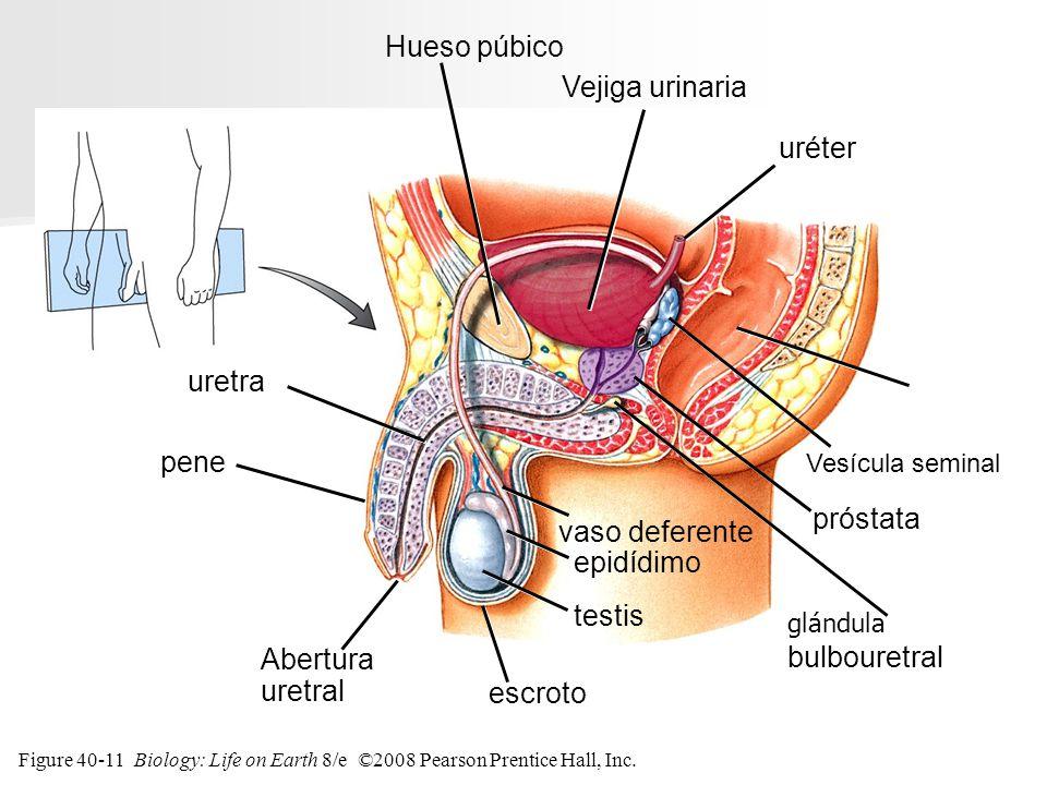Figure 40-11 Biology: Life on Earth 8/e ©2008 Pearson Prentice Hall, Inc. escroto uréter Vejiga urinaria Hueso púbico recto Vesícula seminal próstata
