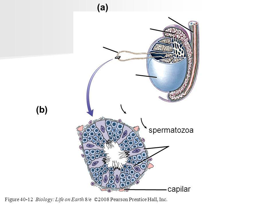 Figure 40-12 Biology: Life on Earth 8/e ©2008 Pearson Prentice Hall, Inc. capilar (b) (a) epidídimo vaso deferente testículo Células hijas espermatogo