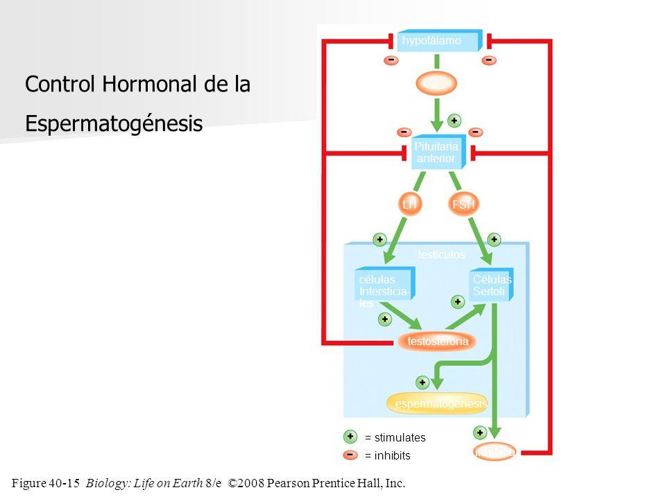 Figure 40-15 Biology: Life on Earth 8/e ©2008 Pearson Prentice Hall, Inc. células Intersticia- les hypotálamo Pituitaria anterior LG FSHLH testículos