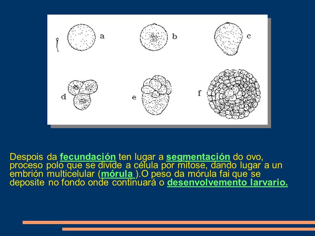 Despois da fecundación ten lugar a segmentación do ovo, proceso polo que se divide a célula por mitose, dando lugar a un embrión multicelular (mórula ).O peso da mórula fai que se deposite no fondo onde continuará o desenvolvemento larvario.