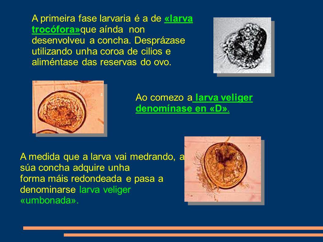 A primeira fase larvaria é a de «larva trocófora»que aínda non desenvolveu a concha.