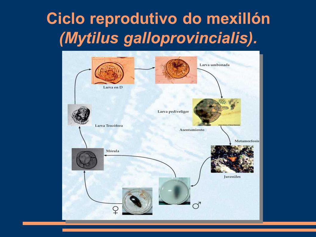 Ciclo reprodutivo do mexillón (Mytilus galloprovincialis).
