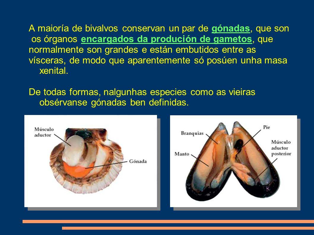 A maioría de bivalvos conservan un par de gónadas, que son os órganos encargados da produción de gametos, que normalmente son grandes e están embutidos entre as vísceras, de modo que aparentemente só posúen unha masa xenital.