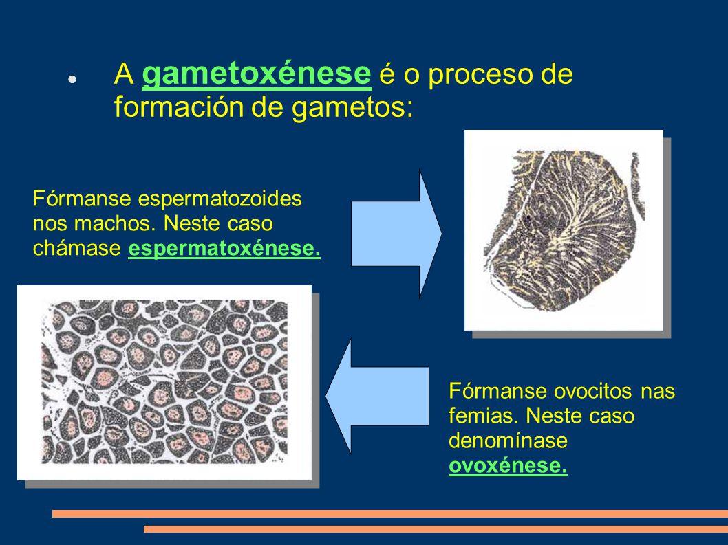 A gametoxénese é o proceso de formación de gametos: Fórmanse espermatozoides nos machos.