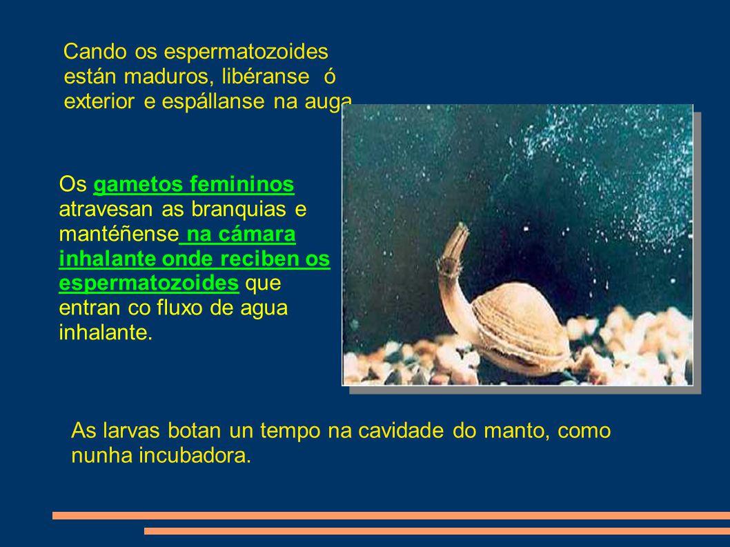 Cando os espermatozoides están maduros, libéranse ó exterior e espállanse na auga.