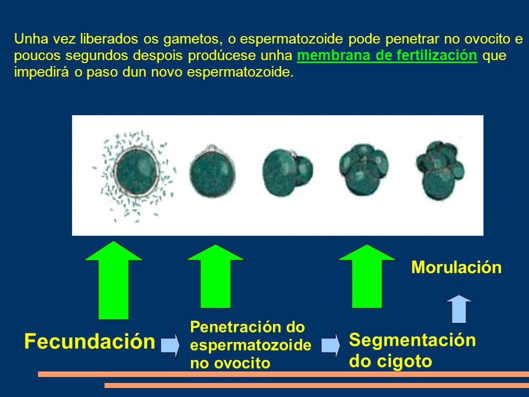 Fecundación Penetración do espermatozoide no ovocito Segmentación do cigoto Morulación Unha vez liberados os gametos, o espermatozoide pode penetrar no ovocito e poucos segundos despois prodúcese unha membrana de fertilización que impedirá o paso dun novo espermatozoide.