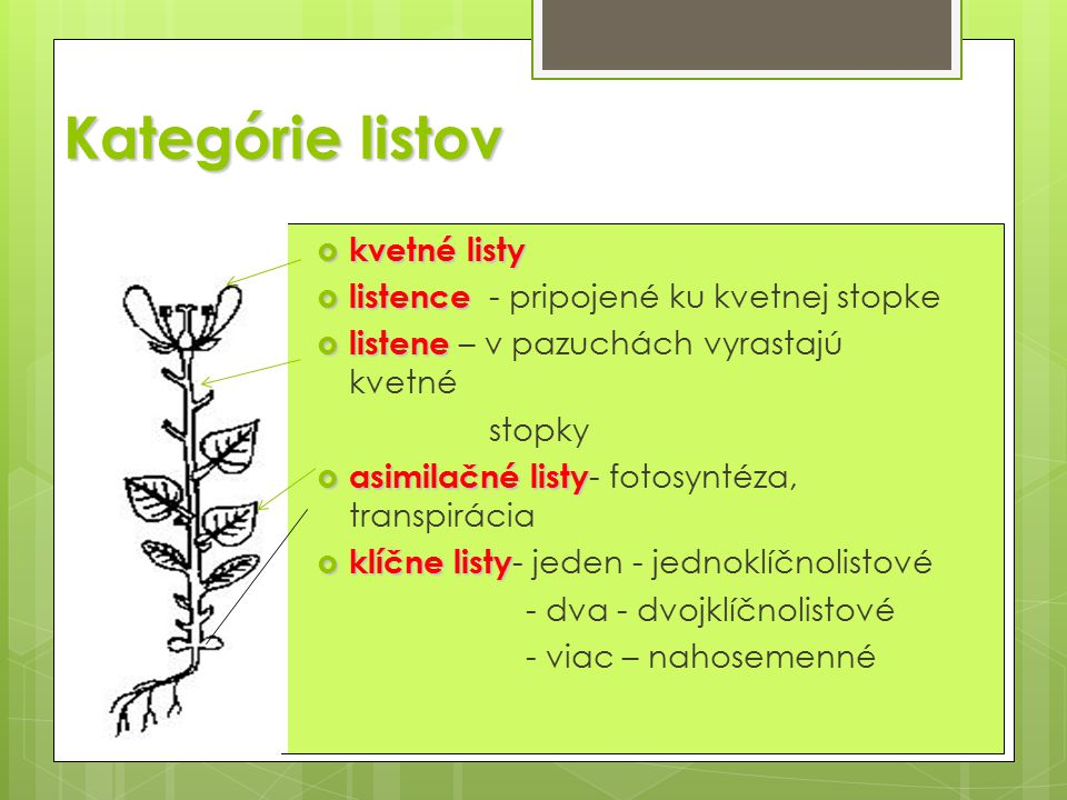 Kategórie listov  kvetné listy  listence  listence - pripojené ku kvetnej stopke  listene  listene – v pazuchách vyrastajú kvetné stopky  asimilačné listy  asimilačné listy - fotosyntéza, transpirácia  klíčne listy  klíčne listy - jeden - jednoklíčnolistové - dva - dvojklíčnolistové - viac – nahosemenné