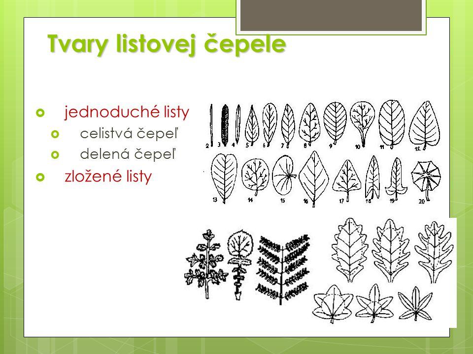 Tvary listovej čepele  jednoduché listy  celistvá čepeľ  delená čepeľ  zložené listy