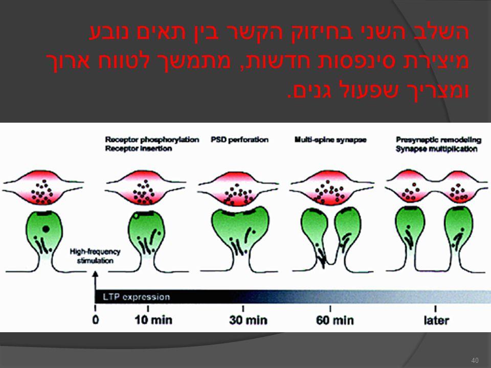 40 השלב השני בחיזוק הקשר בין תאים נובע מיצירת סינפסות חדשות, מתמשך לטווח ארוך ומצריך שפעול גנים.