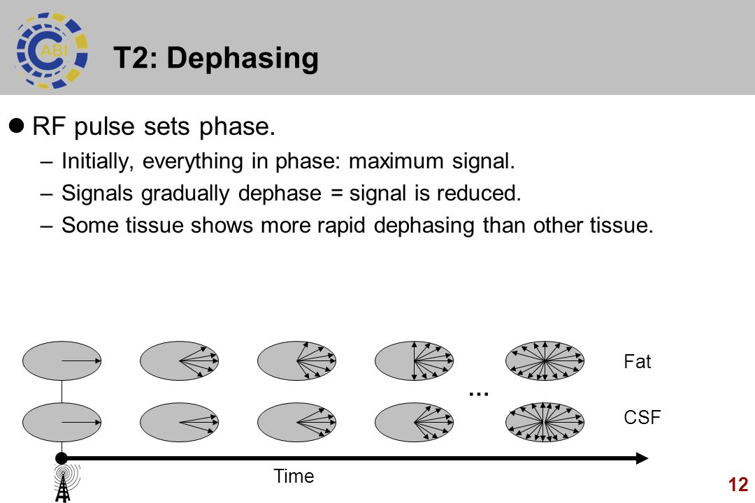 12 T2: Dephasing RF pulse sets phase. –Initially, everything in phase: maximum signal. –Signals gradually dephase = signal is reduced. –Some tissue sh